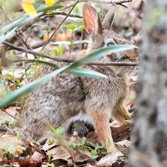 Momma and Baby Rabbit at Edwin Warner Park - April 3, 2014 (mikerhicks) Tags: usa rabbit geotagged spring unitedstates nashville hiking tennessee wildlife edwinwarnerpark warnerparks canon7d nashvillehikingmeetup vaughnsgap oakhillestates sigma18250mmf3563dcmacrooshsm geo:lat=3606116412 geo:lon=8690575663
