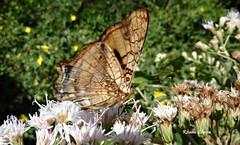 Borboleta (Re Silveira) Tags: brazil naturaleza macro nature brasil butterfly natureza moth mariposa riograndedosul borboletas biodiversity biodiversidad macrofotografia mataatlntica biodiversidade