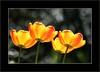 Freitag ist Blumentag   (Friday - flowerday) (alfred.hausberger) Tags: spring tulip frühling tulpen updatecollection freitagistblumentag fridayflowerday