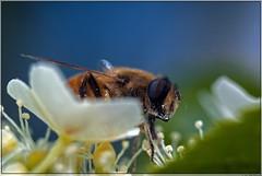 Zweefvlieg doet zich tegoed aan nectar / Hoverfly enjoying nectar. (Joop Rensema.) Tags: macro netherlands sony elements nectar groningen tamron hoverfly tamron90mm zweefvlieg tamronspaf90mmf28di macrolife sonya230