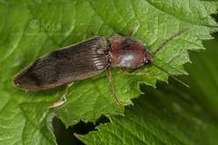 1896 Click Beetle - Stenagostus rhombeus (Pete.L .Hawkins Photography) Tags: beetle click rhombeus stenagostus stenagostusrhombeus