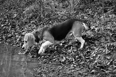 Febee (Guillaume7762) Tags: chien dog noir blanc black white chasse beagle arrêt eau