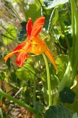 Tropæolum majus, Linnæus 1753 (Brassicales Tropæolaceæ) (Elena Regina) Tags: tropaeolum brassicales tropaeolaceae tropaeolummajus plantae