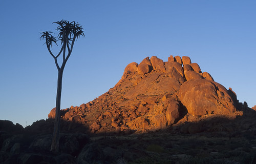 Aloe dichotoma, at sunrise , Kokerboompoort, Richtersv