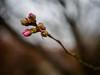 Spring is fighting hard (unconnect) Tags: rosengewächs m25mmf18 rosa regen ast tropfen knospe natur olympusomdem10ii spring frühling