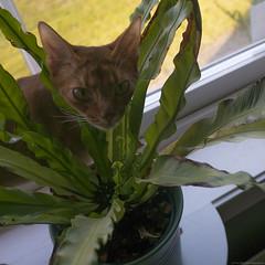Pebbles in the Window 1 (peter_hasselbom) Tags: cat cats abyssinian sorrel red female window windowsill pottedplant pot plant fern leafs fujifilm