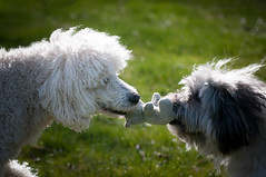 12/52 Ludvig and Viktor (Graaspurv) Tags: poodle lowchen dogs brothers 52weeksfordogs squeakytoys spring