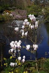 Magnolia blooming (Sundornvic) Tags: spring flowers blossom blooms blooming park garden dingle shrewsbury shropshire quarry green light sun shine water trees plants nature
