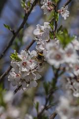 En plena recolección (Javier Arcilla) Tags: naturaleza flores insectos abejas primavera pentax pentaxk70 k70 pentax55200 55200mm elbierzo ponferrada cuatrovientos