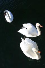 Three Swans (Brian Aslak) Tags: kadettangen sandvika bærum akershus østlandet norge norway scandinavia europe swans svaner cygnets water birds fowl sandvikselva