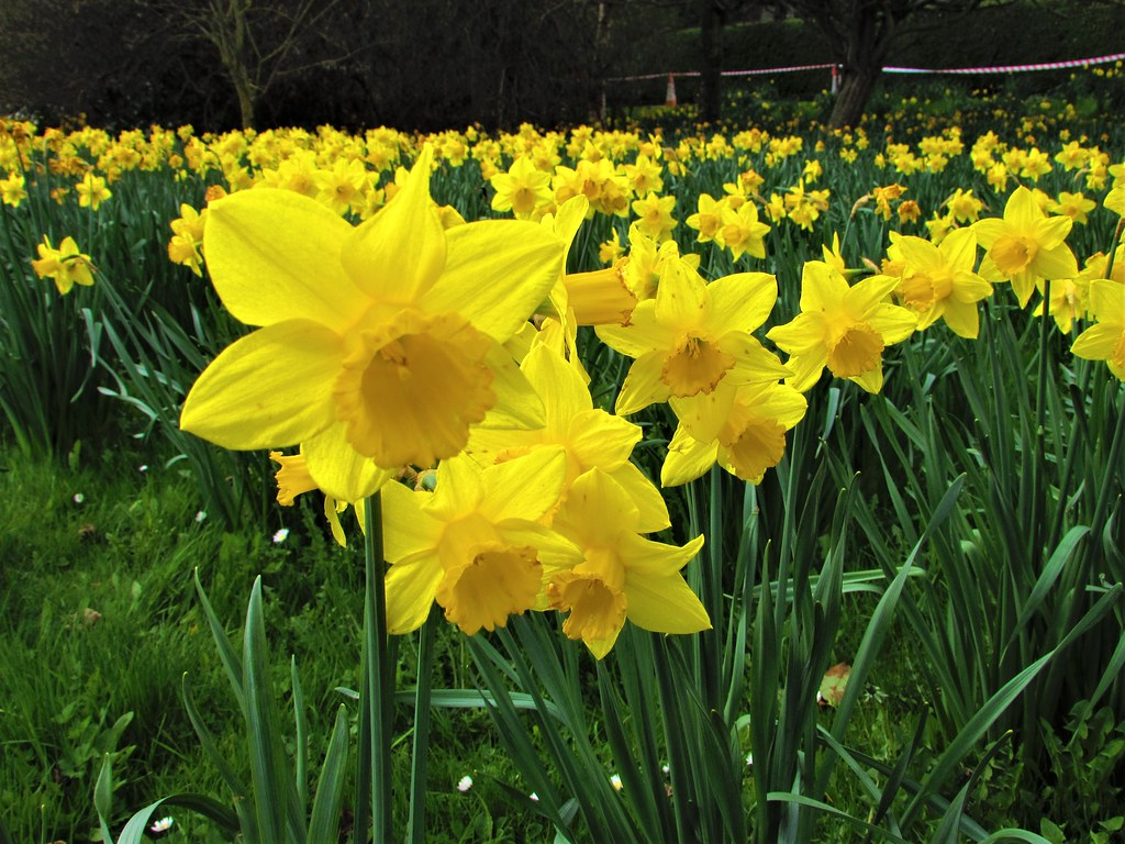 The Worlds Most Recently Posted Photos Of Daffodil And Ireland