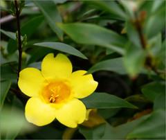 Anglų lietuvių žodynas. Žodis carolina jasmine reiškia karolina jasmine lietuviškai.
