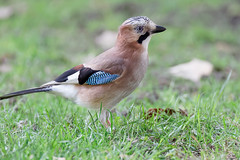 a Jay / un geai (2) : the female in deep shadow (20k ISO) (Franck Zumella) Tags: bird oiseau jay geai colors high iso forest blue red green foret