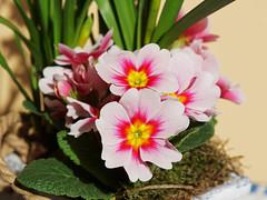 Primel (ingrid eulenfan) Tags: pflanze primel blume flower plants