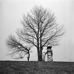 Tree Stand (Bion Grillart) Tags: rolleiflex rolleiflex35f planar planar75mmf35 carlzeissplanar tlr twinlensreflex 120 6x6 d76 kodakd76 kodak trix 400tx trix400 blackandwhite nature tree monochrome film analog mediumformat