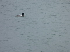 Red-Breasted Merganser (gurdonark) Tags: bird birds wildlife merganser redbreasted bonham state park lake swimming fannin county texas