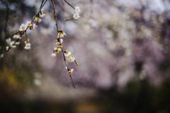 Sanrokugama : Plum Blossoms (Nazra Zahri) Tags: plumblossoms bizen okayama japan 2017 raw spring park vscofilm