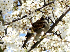 sea of blossoms and a sparrow (BrigitteE1) Tags: seaofblossoms sparrow bremen germany blütenmeer spatz deutschland spring frühling weis white tree blossoms sonne sun flickr panasonic fz300 specanimal sperling singvogel songbird beautiful