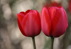Two Red Tulips (Mukumbura) Tags: two red tulips flowers blooms blossom bulbs crimson scarlet rich bokeh garden nature flora petals stems twins gettyimages