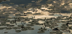 Lily pads (Rick Smotherman) Tags: flowers nature water clouds canon outdoors morninglight spring hiking may overcast 7d cloudysky buschwildlife canon7d canon1585mmlens
