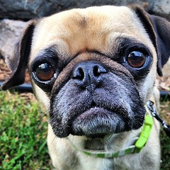 Pug life. (Kat & Dog) Tags: dog pet pets cute dogs woof minnesota animal animals puppy spring pups puppies animallover adorable pug canine cutie smalldog bark cutiepie doggy mansbestfriend pup pooch cuties doggies doggie dogwalk k9 dogwalking cutiepatootie dogslife puppylove bigdog petlove dogwalker poochie puglove woofwoof furryfriend canines pooches bestdogever petlovers petphotography smilingdog dogoftheday doglovers doglover ilovemydog petphotos smilingdogs animallove cutestdogever fawnpug doggylove dogwalks puglife adorableanimals petpics petlover ilovemypuppy petoftheweek petoftheday puppyoftheday pupoftheday dogdaily katanddog