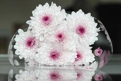 Chrysanthemum (Filo Schira) Tags: flowers flores fleurs mums bunch bouquet ramo chrysanthemum chrysanths crisantemos chrysanthmes xants