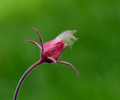 Prairie smoke (psiegle) Tags: prairiesmoke nativeillinoiswildflower