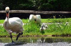 Here they come DSC_5444 (barrygoble) Tags: family bird water birds swan duckling chick swans chicks arundel me2youphotographylevel1