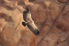 Long-billed Vulture (zahoor-salmi) Tags: camera pakistan macro nature birds animals canon lens photo tv google flickr natural action wildlife watch bbc punjab wwf salmi walpapers chanals discovry beutty bhalwal zahoorsalmi thewonderfulworldofbirds blinkagain