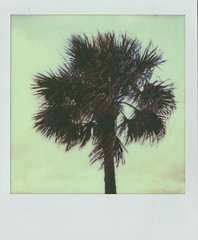 Palm tree (Jacob's Camera Closet) Tags: camera sun color tree film project polaroid palm 600 instant protection impossible
