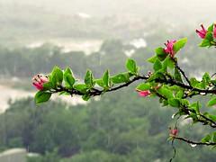 watching the rain (ganobristol) Tags: rain delhi bougainvillea monsoon takingpicswiththecameraafterages