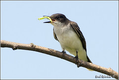 Eastern Kingbird (Earl Reinink) Tags: ontario bird nature birds photography earl peninsula bird niagara photography nature earl flight reinink