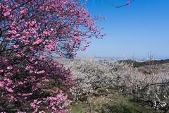 hrmDSC02715Lr Plum blossoms (nak.viognier) Tags: osaka plumblossoms apricotblossoms umeblossoms