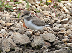 Juvenile Little Ringed Plover (Charadrius dubius) (ColGould) Tags: southport rspb littleringedplover marshside
