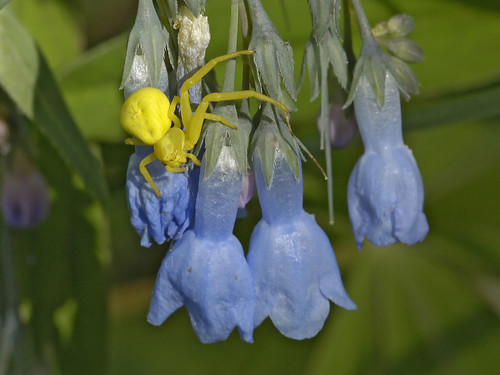 Photo - A crab spider lurks on chiming bell flowers.