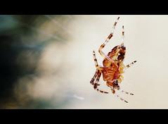 Cinemascope Spider (wigerl - herwig ster) Tags: macro 30 insect spider kärnten carinthia spinne tiffen cinemascope feldkirchen nex7