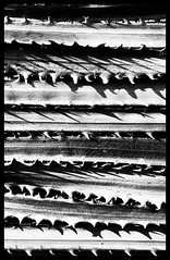 Petiole of the Mexican Fan Palm, Washingtonia robusta (Disney Pin Hunters) Tags: family blackandwhite bw plant tree monochrome garden landscape fan branch desert fat nursery palmsprings chinese palm poke palmtree species prick ribbon tall spine ranchomirage pal botany thorn nitrogen palmdesert deserthotsprings magnesium chinensis npk gardencenter phosphorus petiole potasium frawn hbmike2000 disneypinhunters flickrandroidapp:filter=orca disneypinhunter