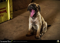 Sleep (Leonardo Brelaz) Tags: light dog luz co puppy sleep cachorro boca sono bocejo dentes filhot
