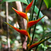 "Heliconia • <a style=""font-size:0.8em;"" href=""http://www.flickr.com/photos/101688182@N03/9833400516/"" target=""_blank"">View on Flickr</a>"