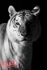 TIGRE1__zoo Madrid (-victorhugo-) Tags: madrid espaa naturaleza white black rayas blanco nature animal animals zoo blackwhite spain negro tigre garras zologico