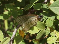 Aporia crataegi (Linnaeus 1758) - Black-veined White (Peter M Greenwood) Tags: white blackveinedwhite aporiacrataegi aporia crataegi blackveined