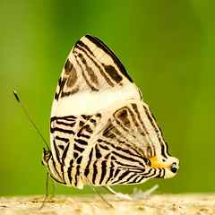 Colobura dirce (qgrainne) Tags: male amsterdam butterfly thenetherlands butterflies artis butterflyhouse artiszoo coloburadirce zebramosaic dircebeauty
