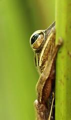 Common Tree Frog (Daniel Trim) Tags: tree nature wildlife frog malaysia langkawi common striped polypedates leucomystax fourlinedtreefrog