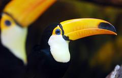 Toucan (floridapfe) Tags: color bird animal zoo toucan korea horn everland
