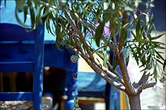 (manni39) Tags: summer minolta iso400 sommer oleander minoltasrt101 srt101 srt rokkor paradiesfilm rokkor55mm17