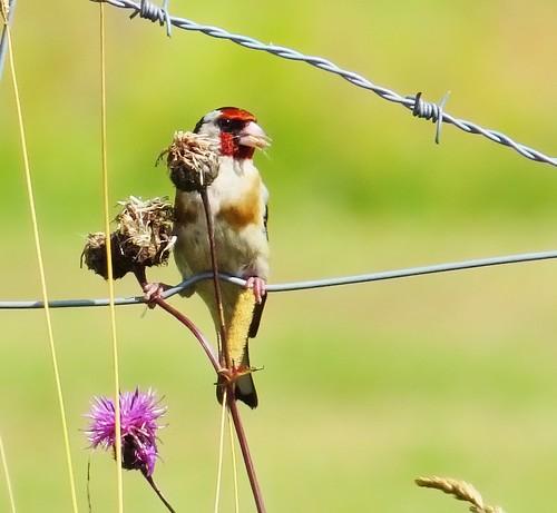 Steglits / Goldfinch