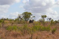 Kruger National Park - Elephant (OurPhotoWork) Tags: travel southafrica wildlife safari krugernationalpark kruger gamedrive africansafari africasafari krugernp travelplanet ourphotowork sa2013
