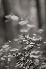 de verre (Super G) Tags: blackandwhite bw monochrome leaves forest bokeh mad deverre hmbt