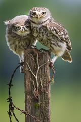 Little Owls (iesphotography) Tags: cute bird nature animal birding owl owlet littleowl