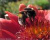 Searching.... (♥ Annieta  off/on) Tags: flower holland nature netherlands fleur canon bug garden insect flora ngc nederland jardin natuur powershot bee npc tuin hommel insekt augustus allrightsreserved bij bloem krimpenerwaard 2013 annieta magicofaworldinmacro macromarvels excellentsflowers mimamorflowers faunayfloradelmundo usingthisphotowithoutpermissionisillegal esenciadelanaturaleza sx30is annietadejongvanbochoven